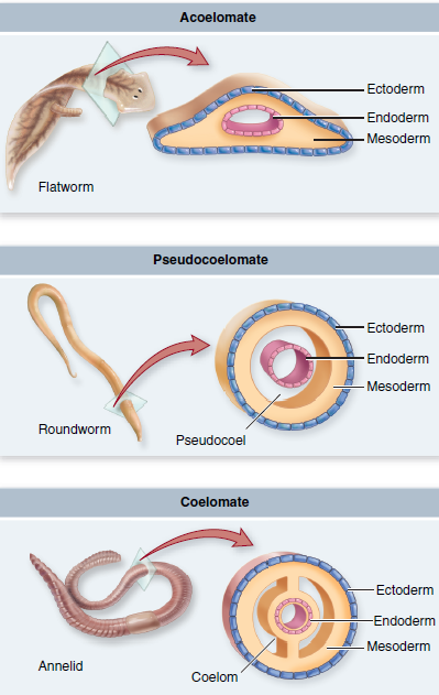 platyhelminthes coelomates
