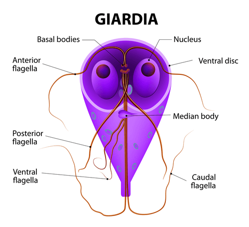 giardia parasite human symptoms)