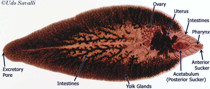 platyhelminthes fasciola)