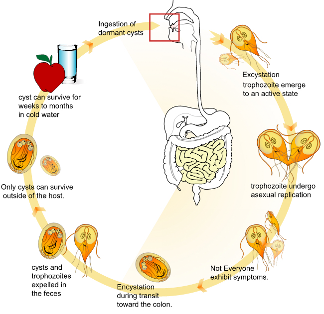 Giardia infection in humans treatment.